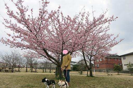 3-15ママと一緒の河津桜