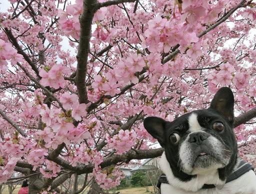 3-15ふると桜③