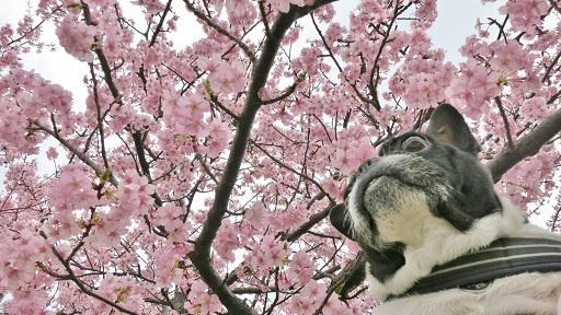 3-15ふると桜①