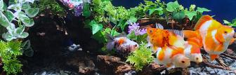 金魚バナー