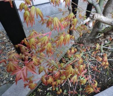 紅葉めぶき