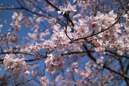 桜160328-1