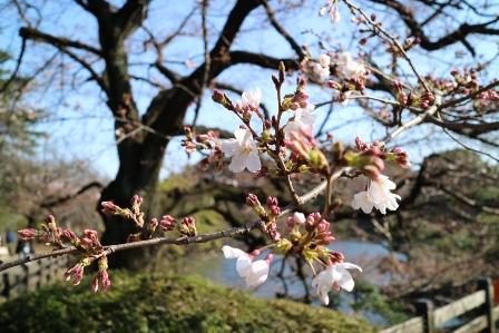 桜160328-2