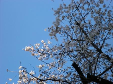 桜160328-3