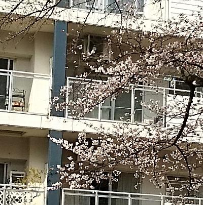 桜さきかけ