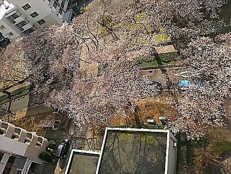 上から見た桜