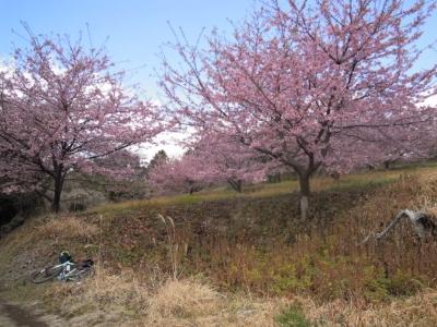 河津桜160221