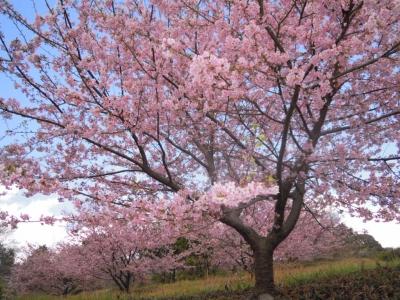河津桜満開160221