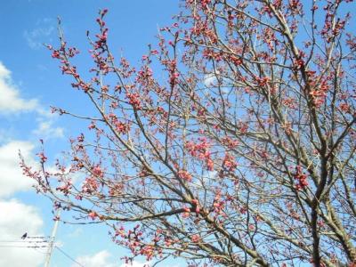 厳島湿生公園の桜160302