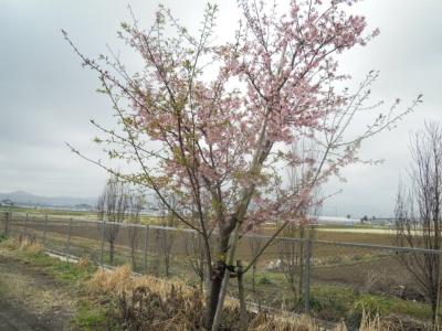早咲さくら160308