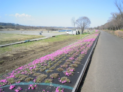 相模川左岸芝桜