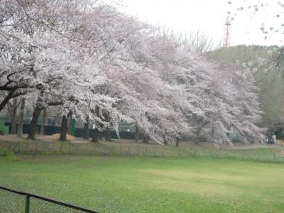 東海大学の桜160401