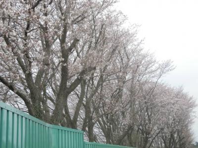ゴミ最終処理場の桜160401