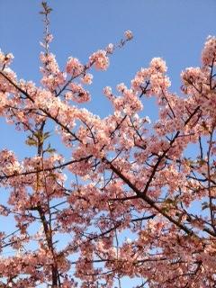 IMG_1613 [河津桜