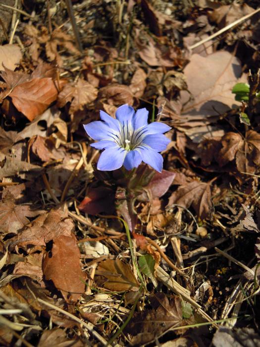 写真:ハルリンドウの花。