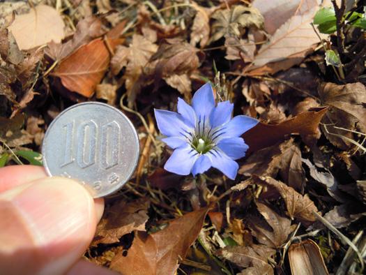 写真:ハルリンドウの花の大きさ。