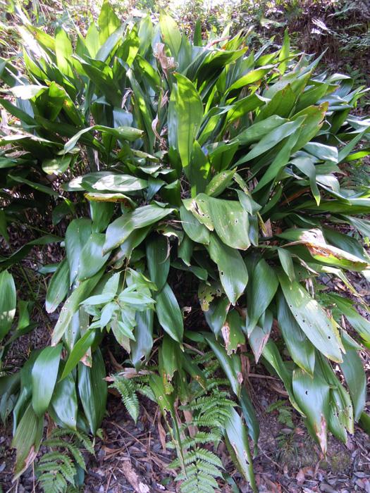 写真:ハランの葉。
