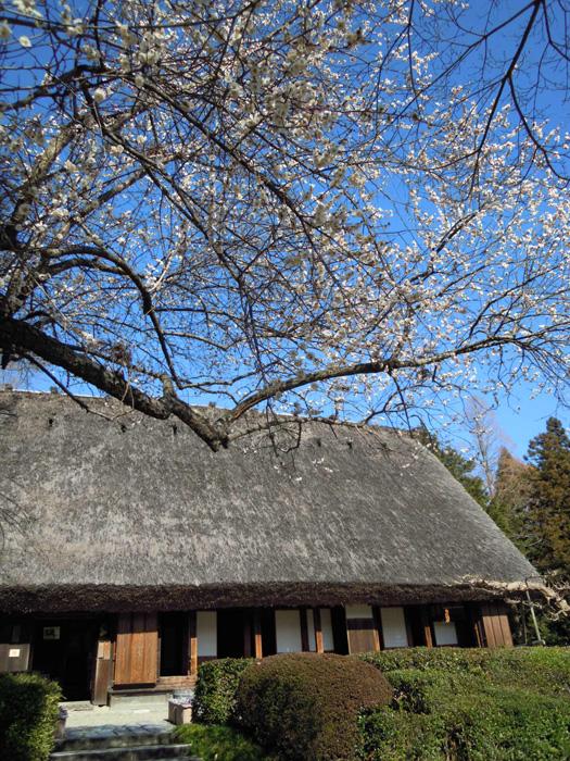 梅と合掌造りの家2。