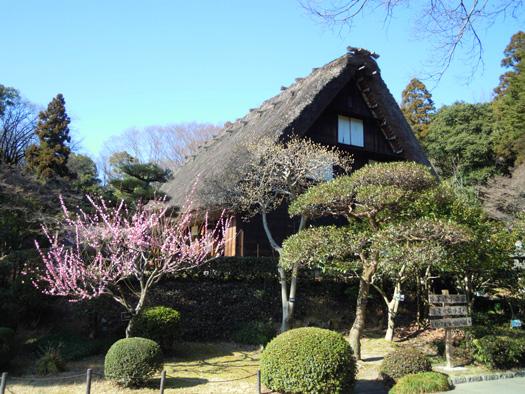 梅と合掌造りの家3。