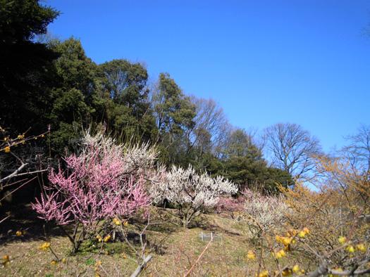 東山動植物園の梅。