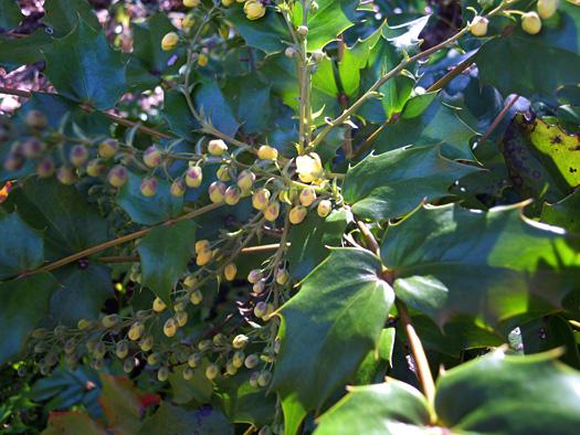 ヒイラギナンテンの葉と花。