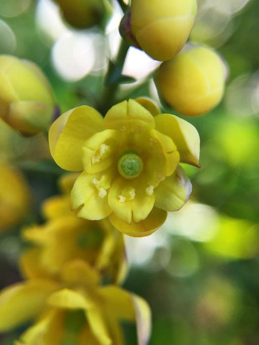 ヒイラギナンテンの花。