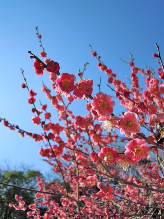 梅の花(ピンク)。