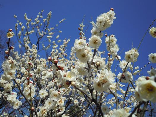 梅の花(白)。
