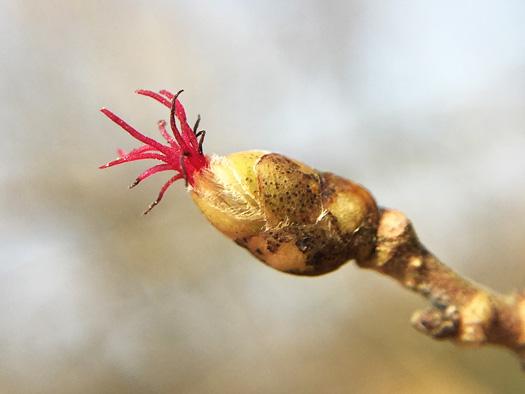 アメリカハシバミの雌花。