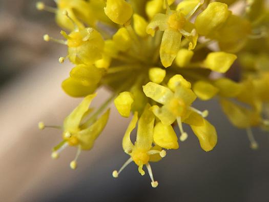 サンシュユの花のアップ。
