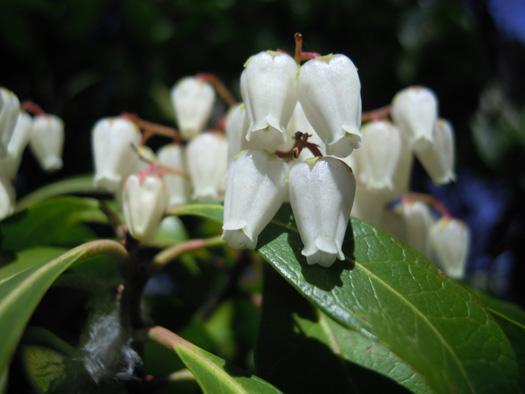 アセビの花のアップ。