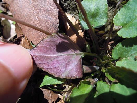 シハイスミレの葉の裏。