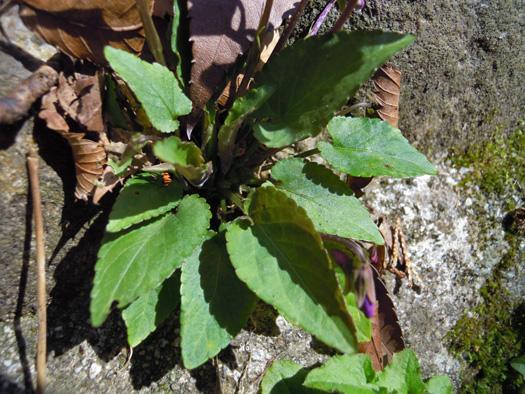 シハイスミレの葉。