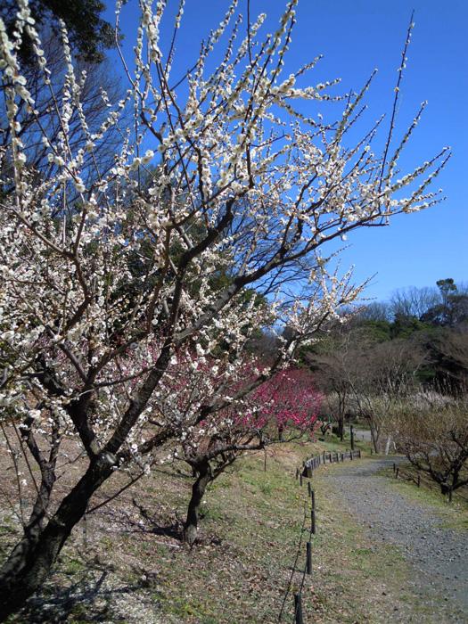 梅はまだ見頃。