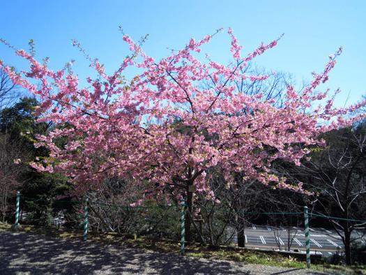 カワヅザクラ(河津桜)。
