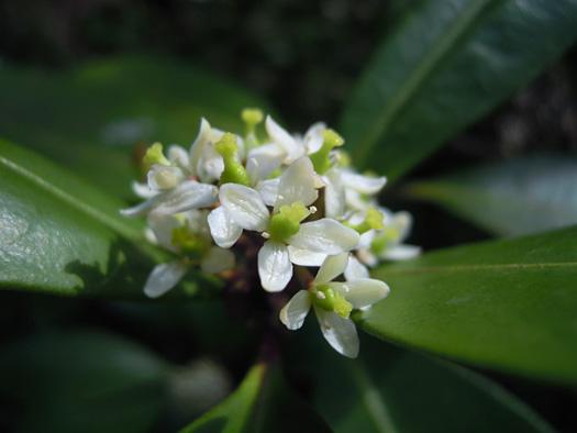 ミヤマシキミの花のアップ。