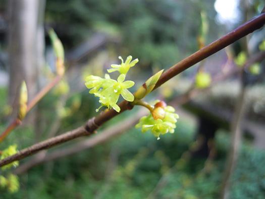 シロモジの花。