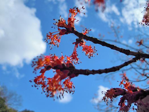 1ハナノキの花。