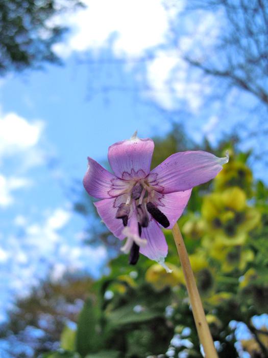 カタクリの花2。