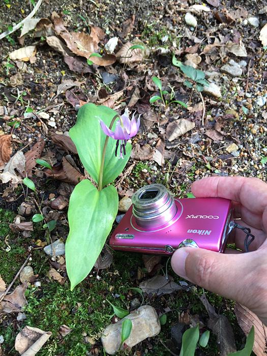 カタクリの花の撮影方法。