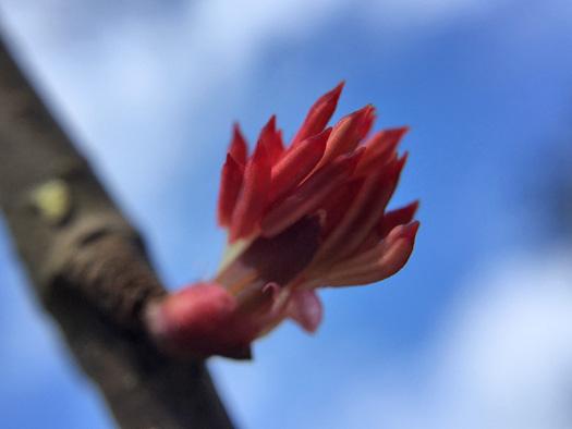 カツラの花のアップ。