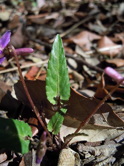 マキノスミレの葉。