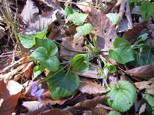 オオタチツボスミレの葉。