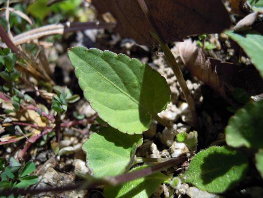 コスミレの葉。