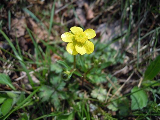 ウマノアシガタの花。