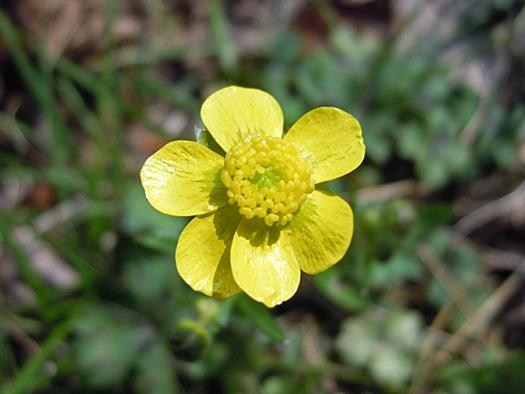 ウマノアシガタの花アップ。