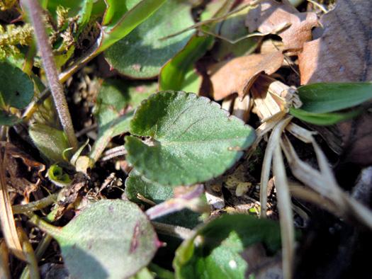 ニオイタチツボスミレの葉。