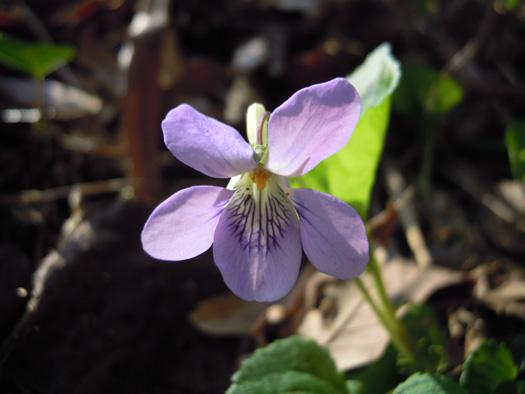 オオタチツボスミレの花。