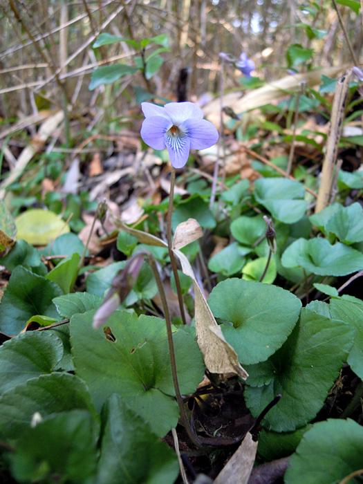 タチツボスミレの花。