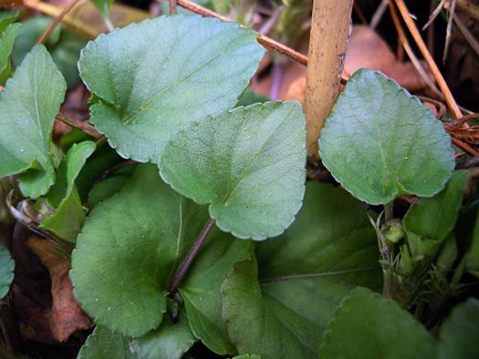 タチツボスミレの葉。